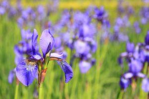 iris fiori matrimonio primavera