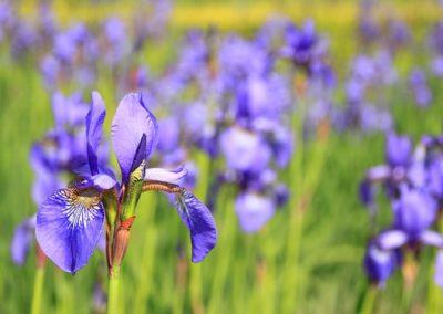 fiori matrimonio primavera iris